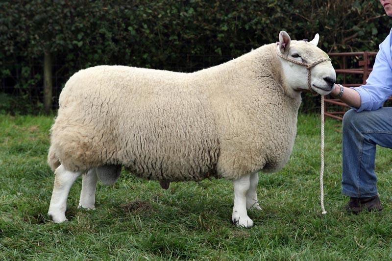 Sheep Cynghordy Estate Llandovery Carmarthenshire